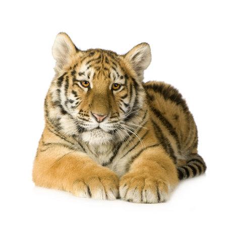 tiger cub: Tiger Cub (5 mois) devant un fond blanc  Banque d'images