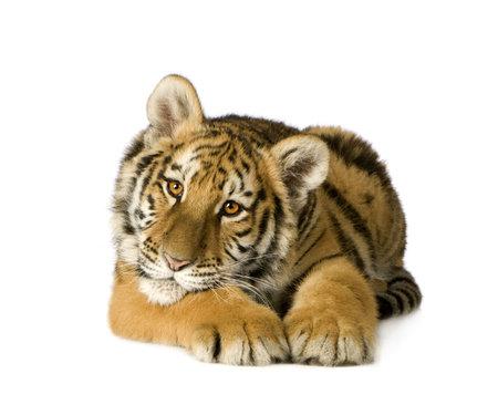 tiger cub: Tiger cub (5 mois) devant un fond blanc