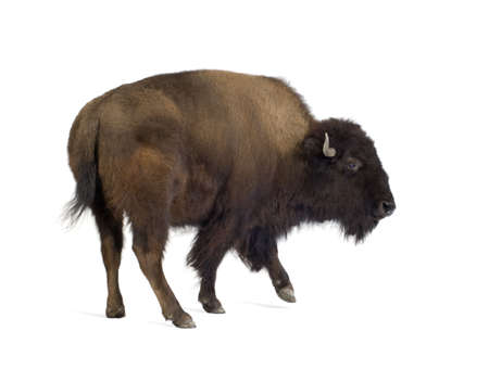hoofed: Bison in front of a white background Stock Photo