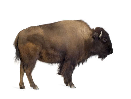 Bison in front of a white background Stock Photo