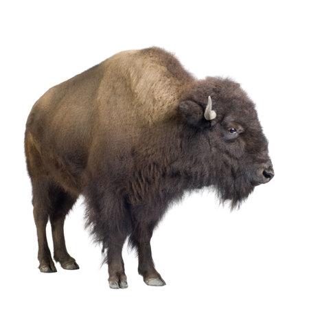 Bison delante de un fondo blanco  Foto de archivo