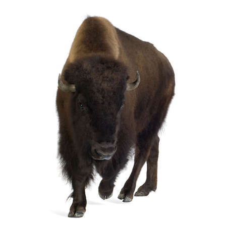 charging: Bison in front of a white background Stock Photo