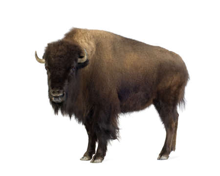 bison: Bison in front of a white background Stock Photo