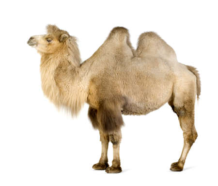hoofed: dromedary in front of a white background Stock Photo