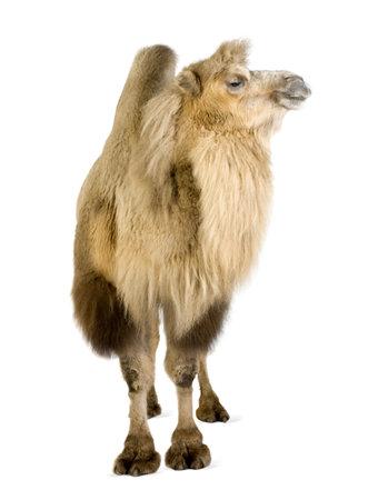 camello: dromedario delante de un fondo blanco Foto de archivo