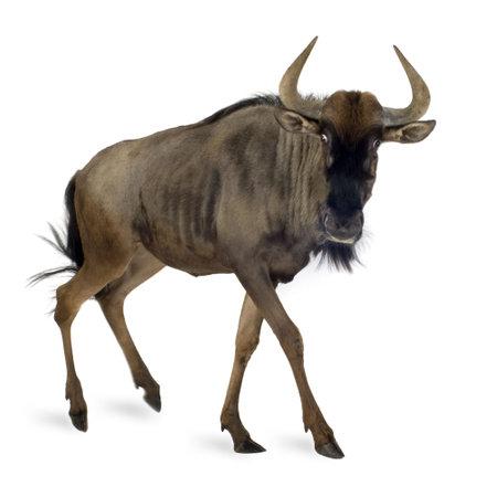 taurinus: Blue Wildebeest - Connochaetes taurinus in front of a white background
