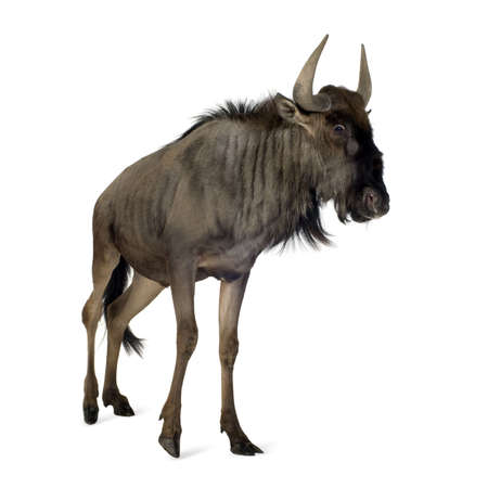 Blue Wildebeest - Connochaetes taurinus in front of a white background