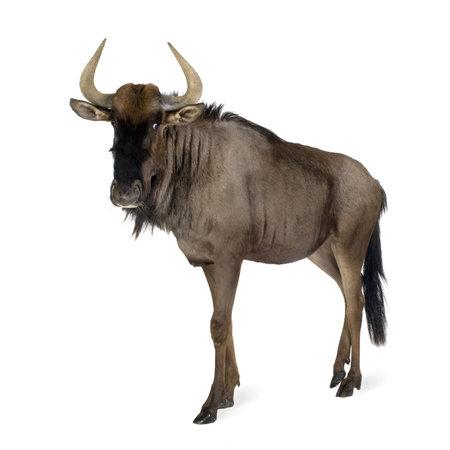 hunted: Azul Wildebeest - Connochaetes taurinus delante de un fondo blanco
