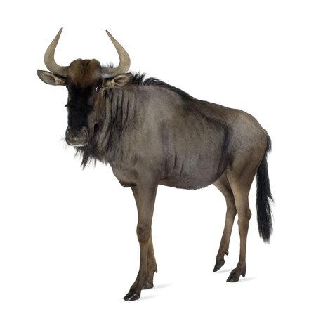 wildebeest: Blue Wildebeest - Connochaetes taurinus in front of a white background