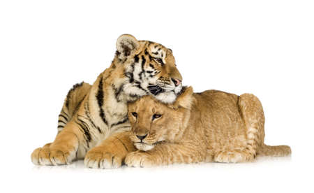 lion cub: Lion Cub (5 months) and tiger cub (5 months) in front of a white background