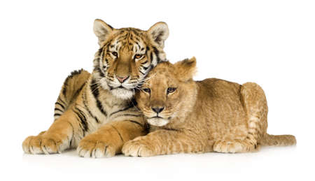 Lion Cub (5 months) and tiger cub (5 months) in front of a white background photo
