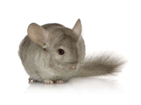 chinchilla: Young Chinchilla in front of white background.