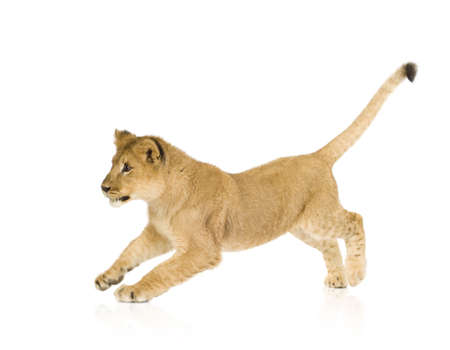 lion cub: Lion Cub (6 months) in front of a white background