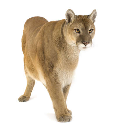 puma cat: Puma (17 years) - Puma concolor in front of a white background