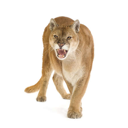 female lion: Puma (17 years) - Puma concolor in front of a white background