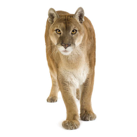 Puma (17 years) - Puma concolor in front of a white background photo
