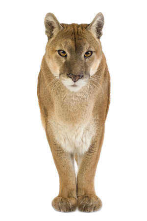 cougar: Puma (17 years) - Puma concolor in front of a white background