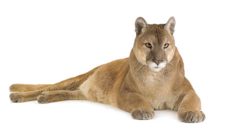 Puma (17 years) - Puma concolor in front of a white background