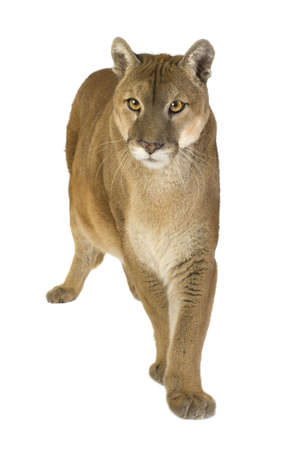 puma: Puma (17 years) - Puma concolor in front of a white background