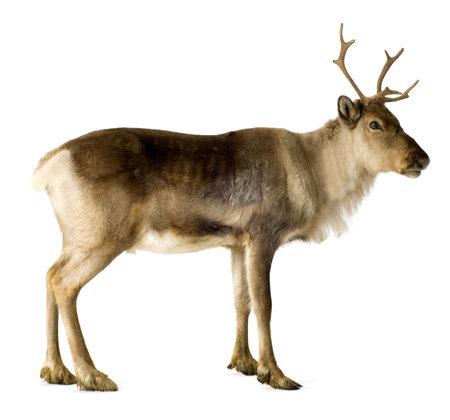 reindeer: reno (2 a�os) delante de un fondo blanco