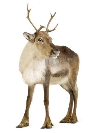 reindeer: renne (2 anni) davanti a uno sfondo bianco Archivio Fotografico