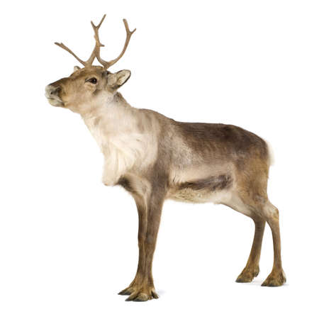 stag horn: reindeer (2 years) in front of a white background