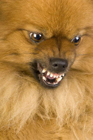 aggressive: Spitz (3 years) in front of white background Stock Photo