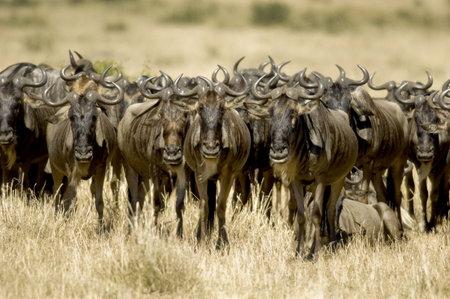 wildebeest: Wildebeest Masai mara Kenya