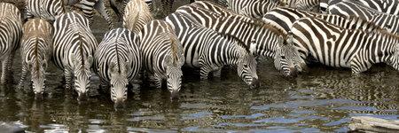 mara: Herd of zebra at Masai mara Kenya Stock Photo