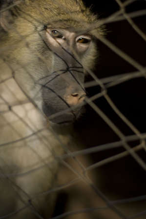baboon in captivity photo