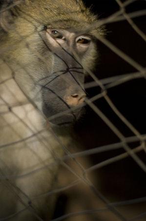 maltrato: babuinos en cautividad Foto de archivo