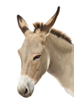 burro: burro delante de un fondo blanco  Foto de archivo
