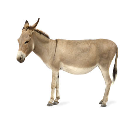 donkey in front of a white background