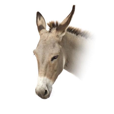 jack ass: asino di fronte a uno sfondo bianco Archivio Fotografico