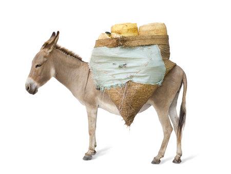 jack ass: asini che trasportano le forniture di fronte a uno sfondo bianco Archivio Fotografico