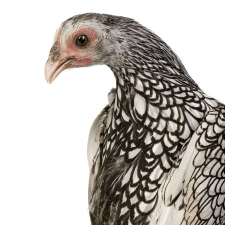 Sebright Bantams in front of a white background Stock Photo - 2659234