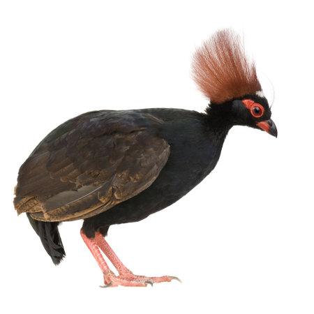 kuropatwa: Czubatka Partridge drewna z przodu białe tło