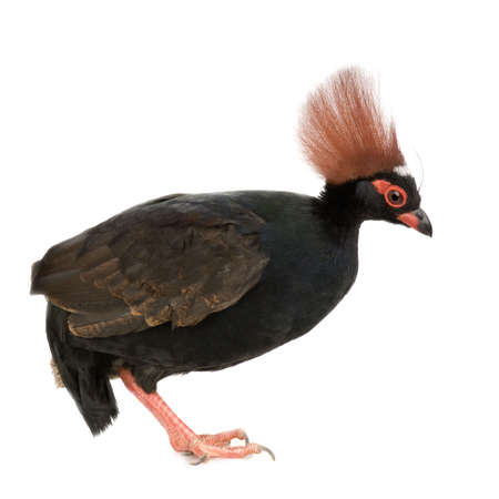 kuropatwa: Crested Partridge drewno z przodu białe tło