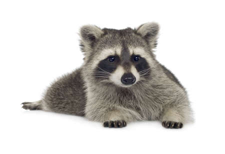 scavenging: raccoon (9 months) - Procyon lotor in front of a white background Stock Photo