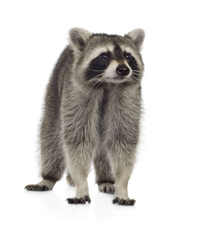9 months: raccoon (9 months) - Procyon lotor in front of a white background Stock Photo