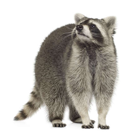 raccoon: raccoon (9 months) - Procyon lotor in front of a white background Stock Photo