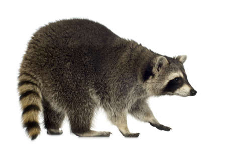 procyon: raccoon (9 months) - Procyon lotor in front of a white background Stock Photo
