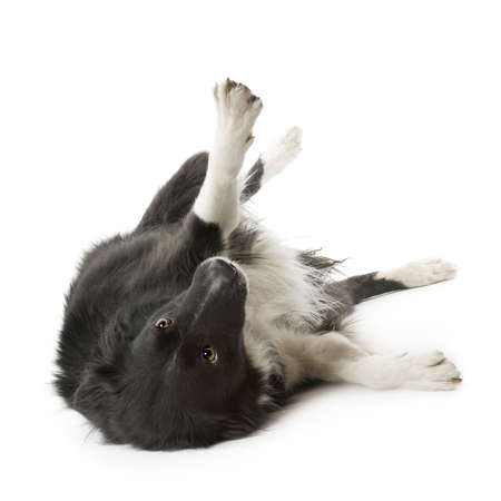 subservience: Border Collie Breed (5 years, 6 months) in front of a white background Stock Photo