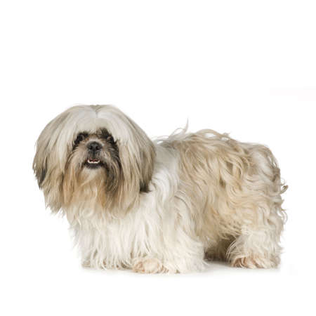 Shih Tzu in front of a white background Stock Photo - 2776346