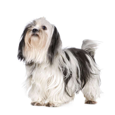 Shih Tzu in front of a white background Stock Photo - 2776384