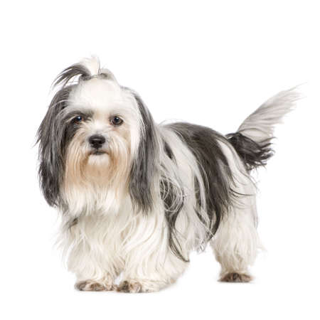 shih tzu: Shih Tzu in front of a white background