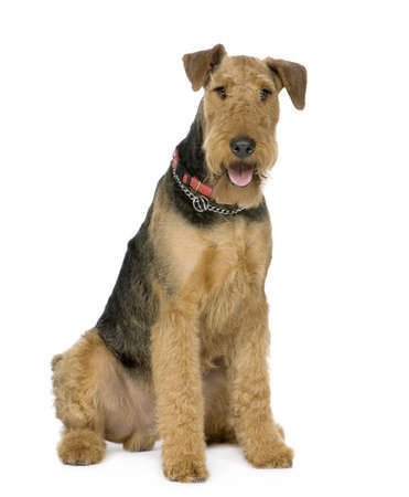 alertness: Airedale Terrier (1 year) in front of white background