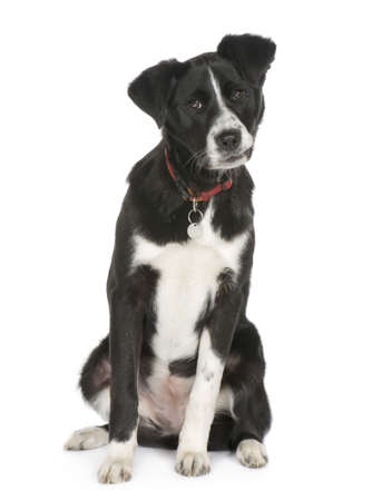 Bastard (6 months) in front of white background Stock Photo - 2776181