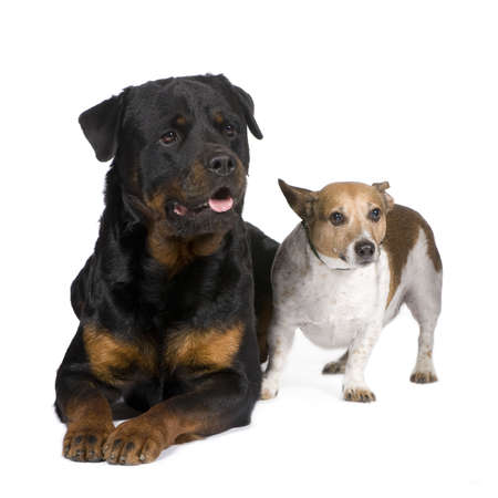 gardian: rottweiler (3 years) and a jack russel in front of a white background