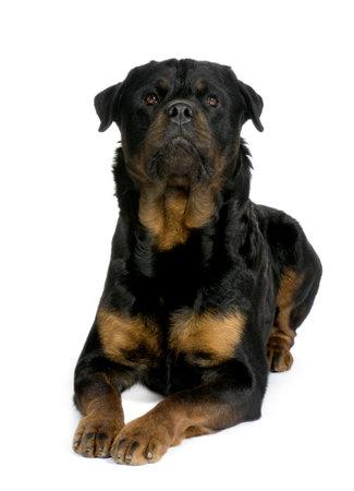 bajo y fornido: rottweiler (3 a�os) delante de un fondo blanco  Foto de archivo